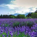 北海道 富良野町・美瑛町のラベンダー畑 7・8月夏休みシーズンにおすすめの観光スポット&宿泊ホテル